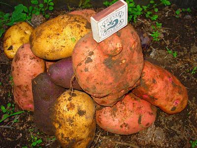 Нажмите на изображение для увеличения.  Название:картошка.jpeg Просмотров:174 Размер:110.1 Кб ID:8829