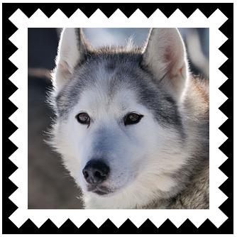 Название: Siberian Husky.png Просмотров: 372  Размер: 118.0 Кб