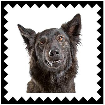 Название: Dutch Shepherd Dog.png Просмотров: 352  Размер: 103.2 Кб