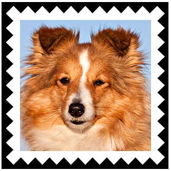 Название: Shetland Sheepdog.png Просмотров: 341  Размер: 172.1 Кб