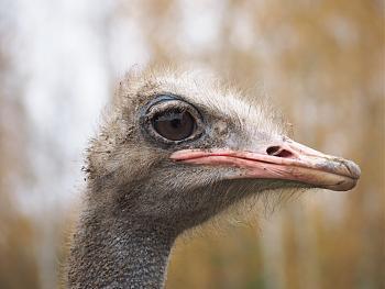 Нажмите на изображение для увеличения.  Название:Дудутки_страус.jpg Просмотров:200 Размер:99.4 Кб ID:605